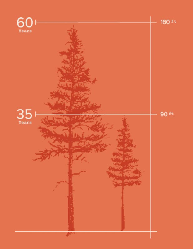 Figure 1. A Douglas Fir's ability to capture carbon from the atmosphere increases exponentially between 35 to 60 years of growth. As a forest matures toward a 60-year planned harvest, it adds considerable mass and carbon storage. (Source: PortBlakely.com)